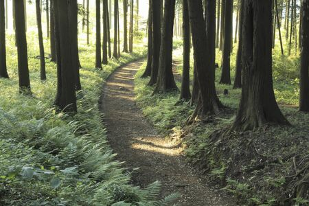 hinoki: Cypress trees and trails Stock Photo