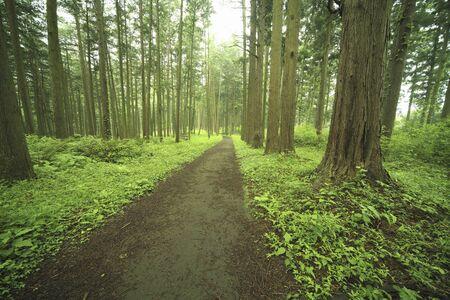 Cypress trees and trails Standard-Bild