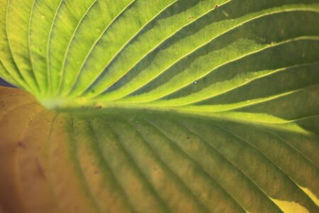 hosta: Of autumn leaves macrophyll Hosta