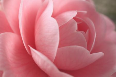 florid: Camellias Stock Photo