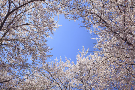 wood pillars: Blue sky and cherry blossoms