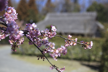 private viewing: Kawazu cherry blossom and old houses