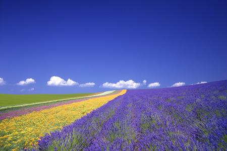 natural phenomena: Fields of lavender