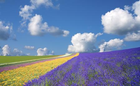 Lavender fields and clouds 版權商用圖片