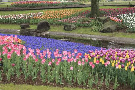 showa: Showa Memorial Park Tulip Stock Photo