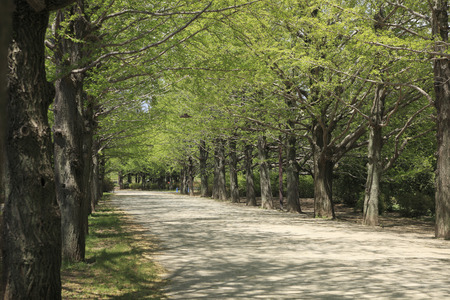 road and path through: Ginkgo treelined Green