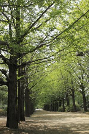 filtering: Ginkgo treelined Green