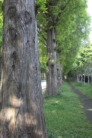 road and path through: The fresh green of the tree-lined Metasekoiya