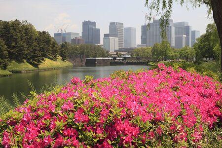 mass flowering: Sakuradamon and azalea Stock Photo