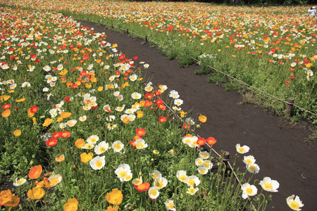 flower garden path: Iceland poppy and footpath