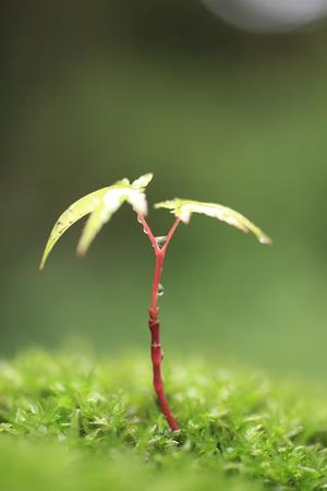 acer palmatum: Acer palmatum leaf