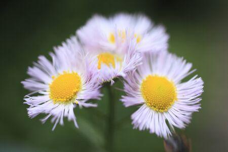 philadelphia: Philadelphia fleabane flowers
