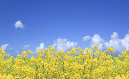 Rape blossoms and the sky