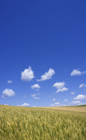 vertical orientation: The wheat field and sky