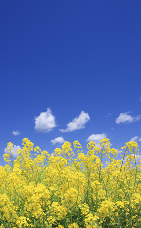 vertical orientation: Rape blossoms and the sky