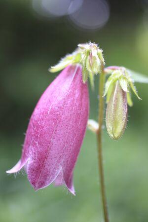 bellflower: Bellflower