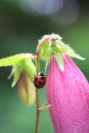 bellflower: Bellflower and ladybug