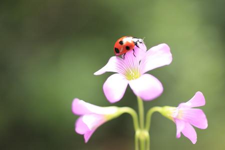 oxalis: Ladybug on leaves of purple oxalis Stock Photo
