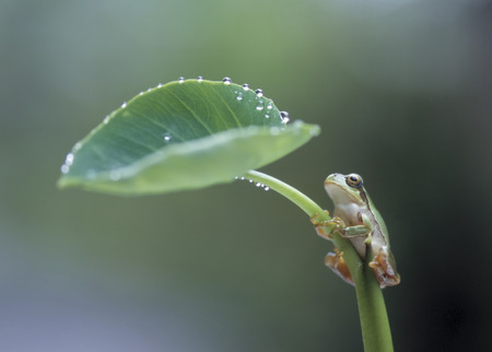 Water droplets and the frog in leaves of taro