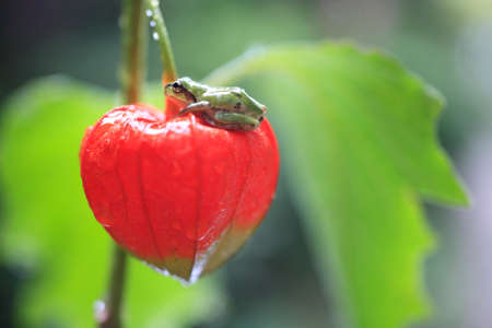 ground cherry: The frog in the ground cherry