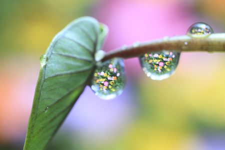 morning dew: Flower reflection in morning dew leaf taro