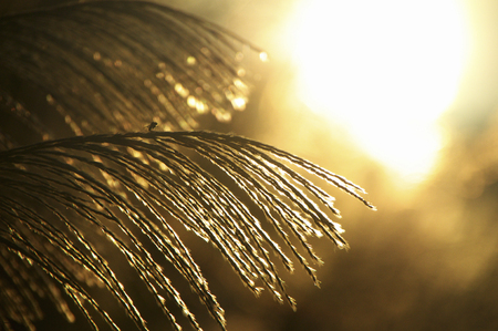 diluted: Sunrise and Miscanthus sinensis