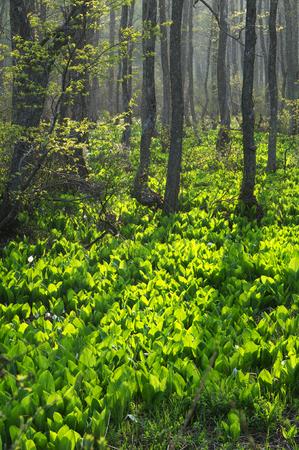 alder: Alder forests