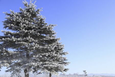 arrived: Pine tree arrived in rime Stock Photo