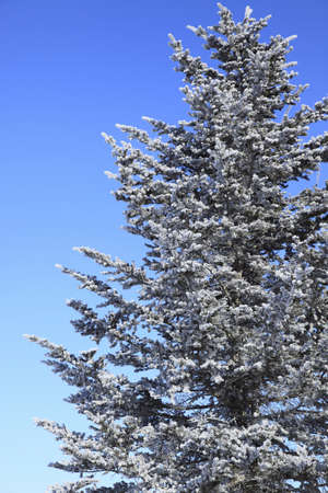 pin arbre: Pine tree arrived in rime Banque d'images