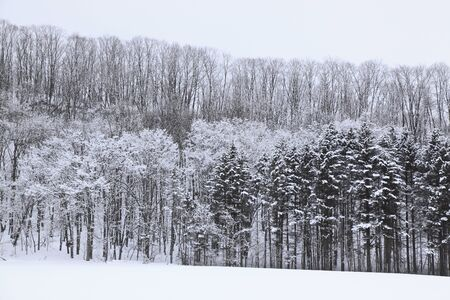 accretion: Trees covered with snow