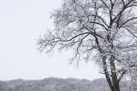 accretion: The Snow-Covered the tree Stock Photo