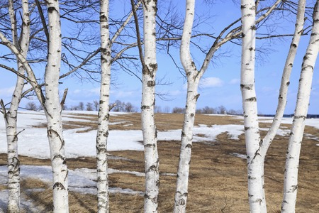 Thaw and white birch Stock Photo