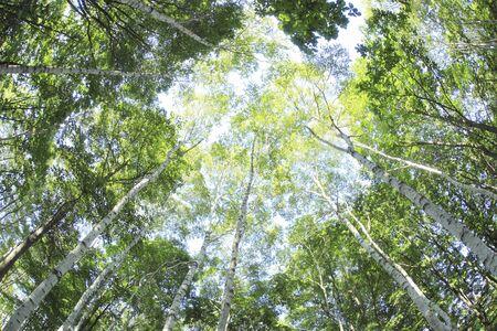 alkekengi: Fresh green forest