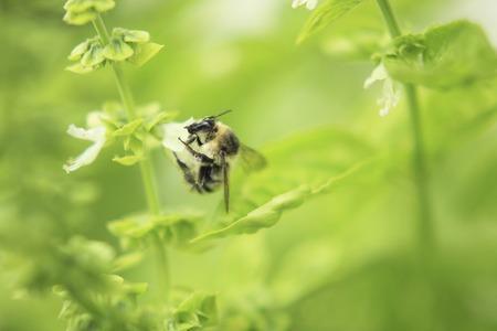 バジルの花とクマバチ