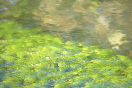 waterweed: Ranunculus nipponicus Stock Photo