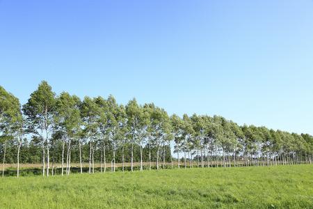treelined: Birch tree-lined Stock Photo