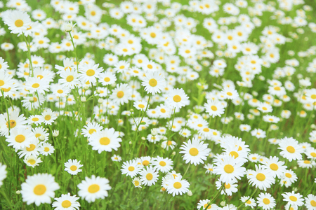 gregarious: France chrysanthemum gregarious