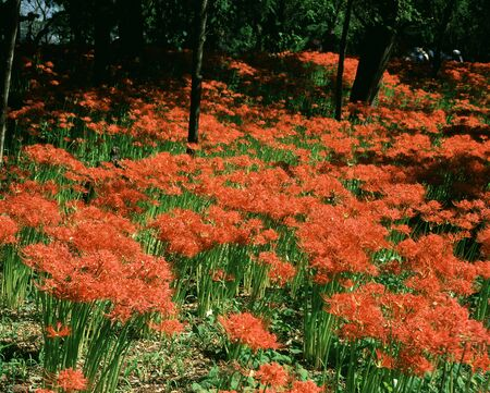 spider lily: Purse field, red spider lily