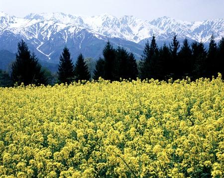 landscape flowers: Hakuba dream farm, a rape and Northern Alps