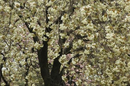 二重桜ウコン