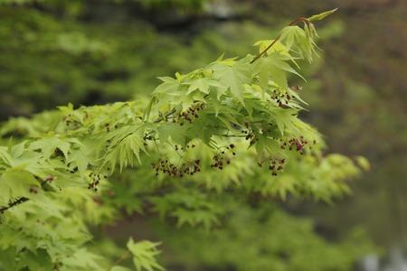 acer palmatum: Fresh green of Acer palmatum