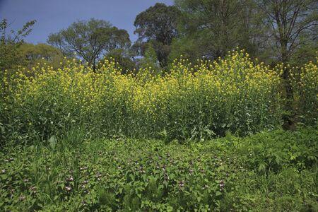 mustard field: Field mustard