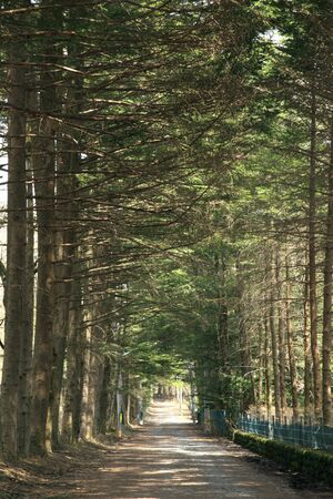 treelined: Fir tree-lined Stock Photo