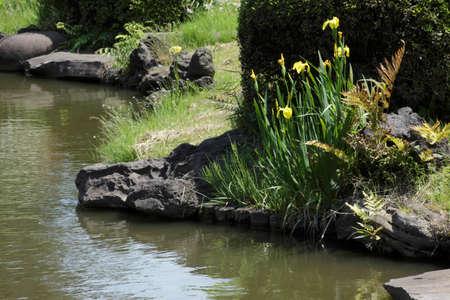 waterside: Waterside of Iris pseudacorus