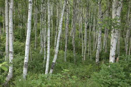 白樺林 写真素材 - 47075976