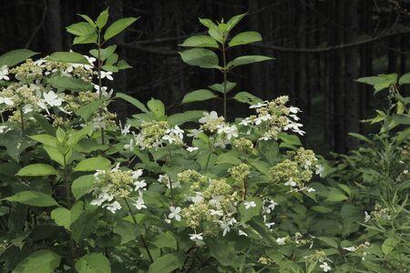 hydrangeaceae: Yamaajisai