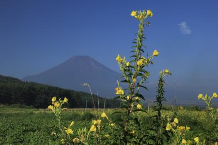 evening primrose: Evening primrose and Fuji