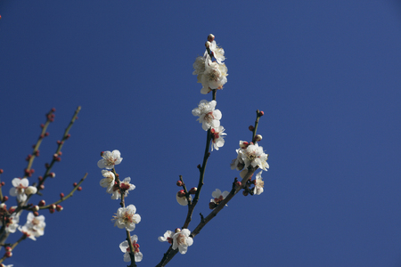 Plum flower winter solstice Stock Photo