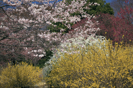 contest: Contest cherry tree, forsythia, spiraea