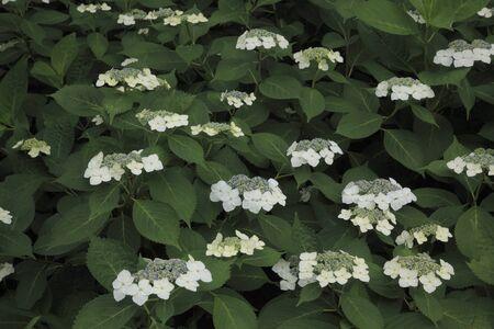 hydrangeaceae: Hydrangeas